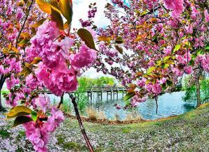 Cherry Blossom Bridge and Lake