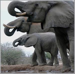 019 dana cohoon 3 elephants