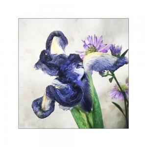 036 geri gray blue iris