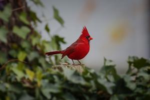 057 joe matzerath cardinal