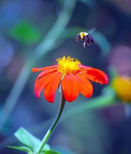 066 tyler nunnallyduck anticipating pollination