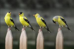 063 joe matzerath photography posing goldfinch