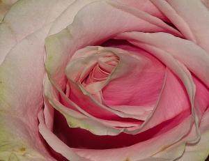010_marino_cirillo_photography_pink-petals