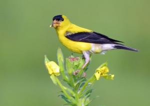 109_photography_compton creek goldfinch