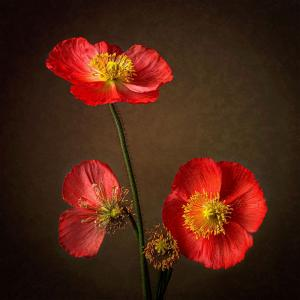 149_photography_poppy flowers - circle of life