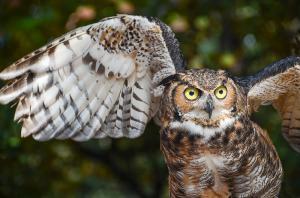 Owl Woodford