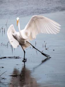 Skating Egret