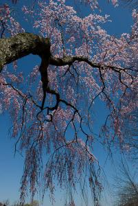 Weeping Cherries, Holmdel Park