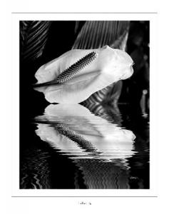Fallen Lily