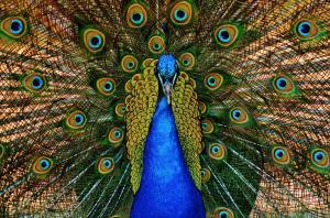 051 marc love peacock power