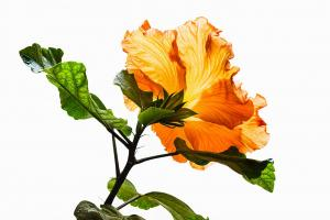 056 vince matulewich orange hibiscus