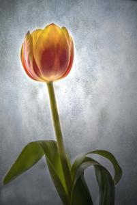 113 bill unger tulip
