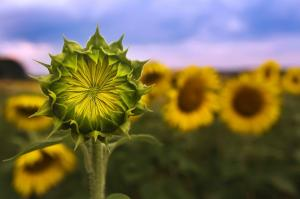 079 kahwai lin photography sunflower