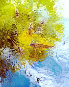 085 vince matulewich photography curious carp