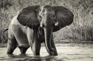 102 mark schwartz photography african elephant
