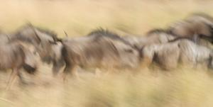 103 mark schwartz photography wildebeest on the move