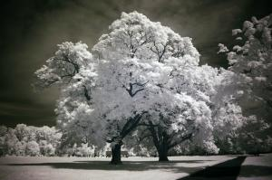 060 michael marino infrared tree