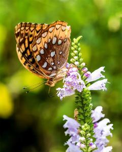 063 vince matulewich athantis fritillary butterfly