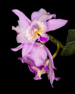 065 vince matulewich orchids cattleya type