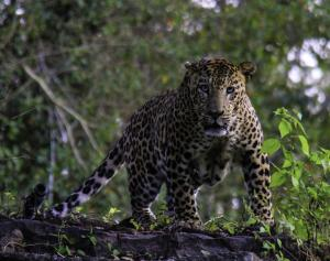 050 peter lopez photography endangered indian leopard