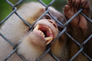 018 marino cirillo angry monkey