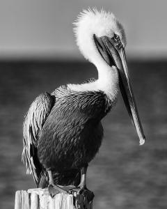 070 frank parisi shy pelican