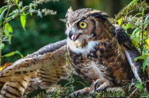 075 angela previte focus of the great horned owl