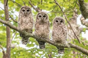 106 ray yeager three owlets