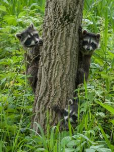54 robert novak photography raccoon kits