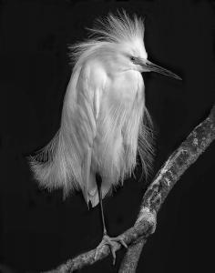 011 Robert Campbell snowy egret