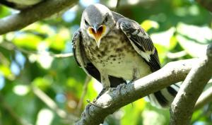 012 marino cirillo angry bird