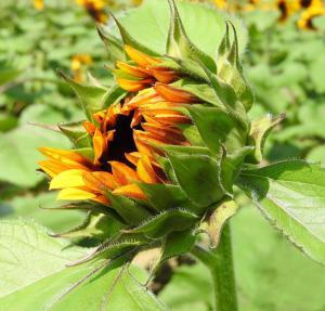 076 rosemarie reinman Budding Sunflower