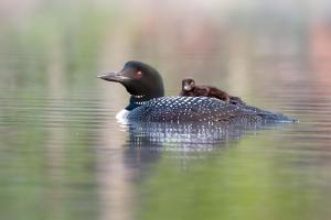 269 ray yeager loon  chick