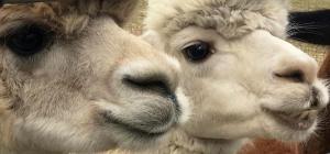 065 dana mckay photography llamas