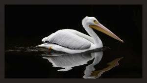 021_robert_campbell_white_pelican