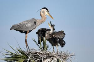 089_angela_previte_hungry_blue_heron_chick